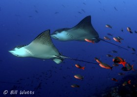 Spotted Eagle Rays taken at Wolf Island in the Galapagos Islands.  © Bill Watts, All Rights Reserved.