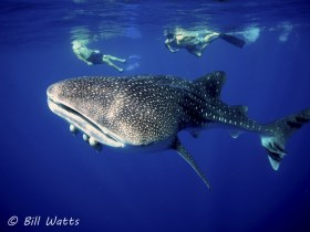 Whale Shark Taken at Cocos Island.  © Bill Watts, All Rights Reserved.