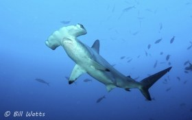 Scalloped Hammerhead shark taken at Bajo Alcyone at Cocos Island.  © Bill Watts, All Rights Reserved.