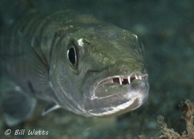 Great Barracuda taken at the Lake Worth Lagoon.  © Bill Watts, All Rights Reserved.