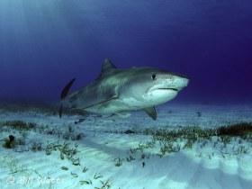 """Tiger Shark  named """"Emma"""" taken at Tiger Beach, Bahamas.  © Bill Watts, All Rights Reserved."""