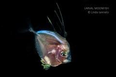 Larval Moonfish