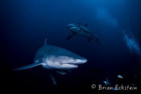 Lemon Sharks, Jupiter