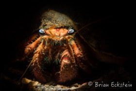 Bareye Hermit Crab, Blue Heron Bridge