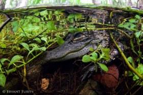 Alligator in Big Cypress, Florida - Ambient Light