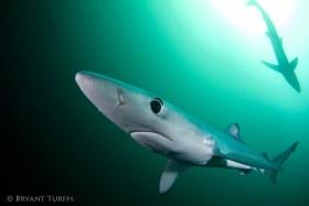 Blue Shark Green Water - Cape Town, South Africa