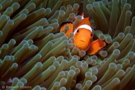 False Clownfish Macro