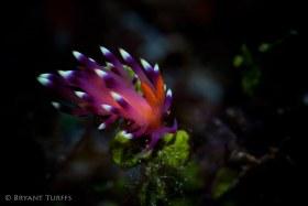 Flabellina Nudibranch - Raja Ampat
