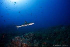 Silvertip Shark - Revillagigedo, Mexico
