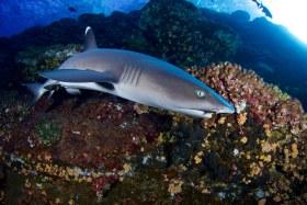 White Tip Reef Shark - Roca Partida - Revillagigedo, Mexico
