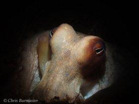 Common octopus, Blue Heron bridge, Riviera Beach, Florida.