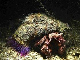 Hermit crab with anemones, Blue Heron bridge, Riviera Beach, Florida.