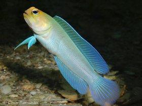 Yellow- headed jawfish , Blue Heron bridge, Riviera Beach, Florida.