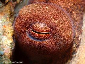 Common octopus eye, Blue Heron bridge, Riviera Beach, Florida.