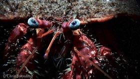 Blue-eyed hermit crab, Blue Heron bridge, Riviera Beach, Florida.