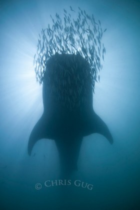 When viz drops to 5', all there is to shoot is silhouetted babies. Here a school of sardines rides its bow. © Chris Gug, All Rights Reserved.