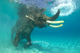 When pigs fly and elephants swim..... © Chris Gug, All Rights Reserved.