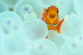 Bleached anemone from PNG. Clownfish laugh at all my jokes. © Chris Gug, All Rights Reserved.