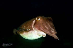 """""""Big Cuddle"""" is a Cuttlefish shot in Dumaguete, Philippines"""