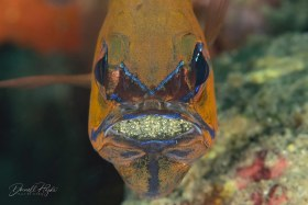 """""""Cardinal Fish with Eggs"""" is a Cardinal Fish from Dumaguete, Philippines"""