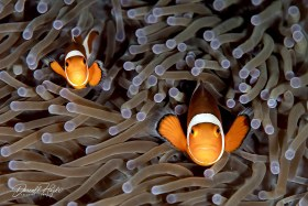 """""""Peek a Boo"""" two posing Anemone fish in Dumaguete, Philippines"""