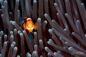 """""""Purple Forrest"""" another Anemone fish in a beautiful purple anemone"""