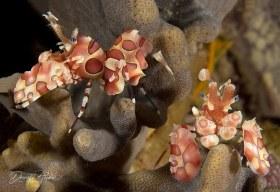 """Harlequin Shrimp"". This pair was taken in Raja Ampat, Indonesia"