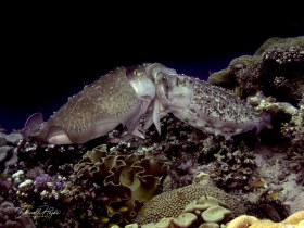 """""""Love"""" two mating Cuttlefish in the Forgotten Islands, Indonesia"""