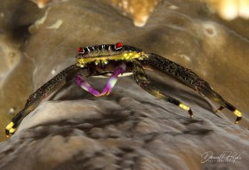 """""""Red Eyed Crab"""" is a Flat Rock Crab taken in Raja Ampat"""