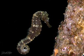 """""""Sea Horse"""" was on a mooring line posing and then he let go…thank you very much! Dumaguete, Philippines"""