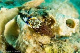 Bumblebee Shrimp (Gnathophyllum elegans), Riviera Beach. © Deb Devers, All Rights Reserved.