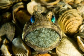 Banded Jawfish, Lake Worth Lagoon. © Deb Devers, All Rights Reserved.
