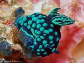 Nembrotha cristata nudibranch, Bali Indonesia. © Deb Devers, All Rights Reserved.
