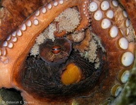 Octopus guarding her eggs. Riviera Beach Fl. © Deb Devers, All Rights Reserved.