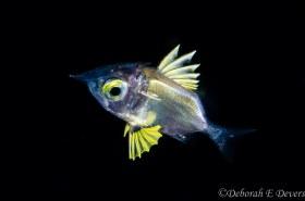 Larval Squirrelfish, Black Water Gulf Stream, WPB,