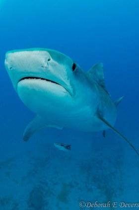 Tiger shark (D'Jenny), Jupiter, Florida