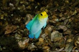Yellowhead jawfish, Blue Heron Bridge, Florida