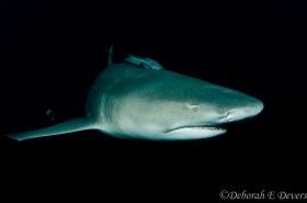 Lemon shark, Jupiter, Florida