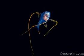 Larval Alfonsino genus Beryx, Black Water Gulf Stream, WPB Florida