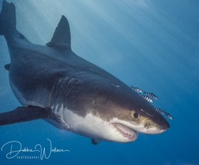 Air Demon, great white shark, Guadalupe