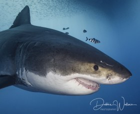 Air Demon portrait, great white shark, Guadalupe