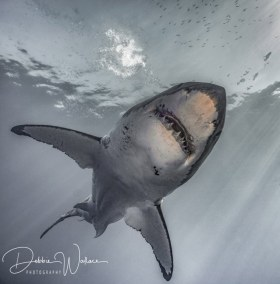 Incoming, great white shark, Guadalupe
