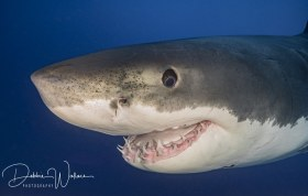 Mr. Smiley, great white shark, Guadalupe