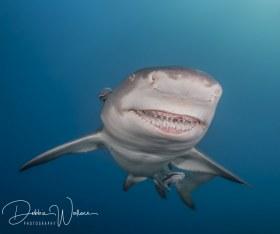Snooty Smiles, lemon shark, Jupiter, FL