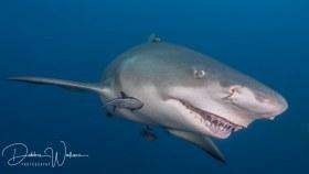 My Best Side, lemon shark, Jupiter, FL