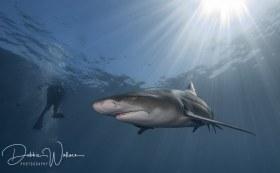 Heavenly Lemon, lemon shark with diver, Jupiter, FL