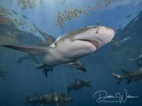 In the Spotlight, lemon shark, Jupiter, FL