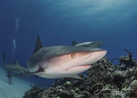 In Your Face, reef shark, Bahamas