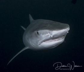 Out of the Dark, tiger shark, Jupiter, FL