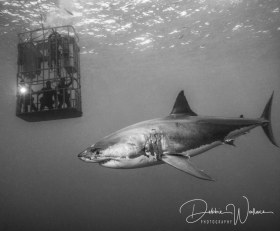 Room with a View, great white shark, Guadalupe